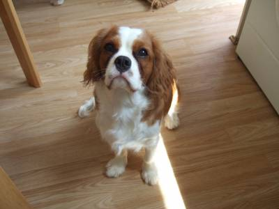 Compro Cavalier King Charles Spaniel