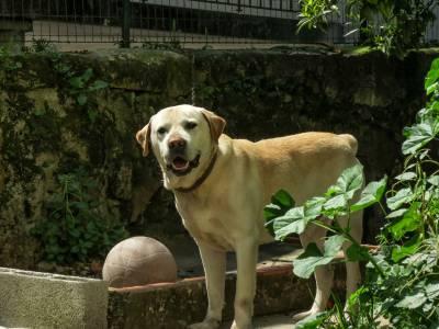 Labrador procura labradora para amizade colorida