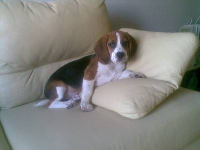 Beagle adulto procura namorada