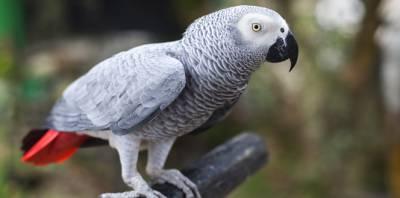 Papagaio africano desaparecido