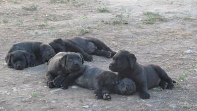 Cachorros de Fila de S Miguel