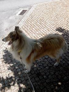 Procura-se cadela Rough Collie para cruzar