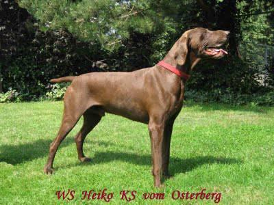 cachorros braco alemão para venda