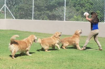 Filhotes de Golden Retriever - Pedigree