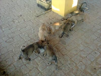 Ninhada Boerboel Puros