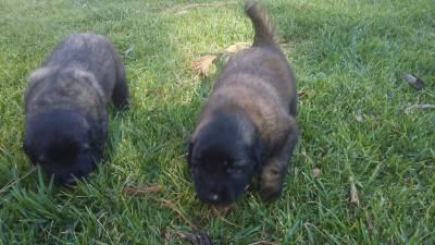 Vende-se ninhada cães Serra da Estrela puros