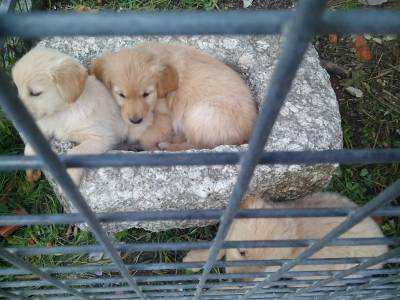 Golden Retriever - puras e com LOP Pedigree