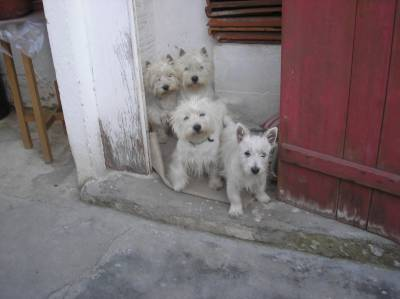 west highand white terrier acasalar lisboa