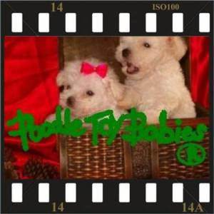 ESPECIALIZADO POODLE MICRO E POODLE TOY LOVPUPPIES