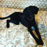 Dou Labrador com Weimaraner