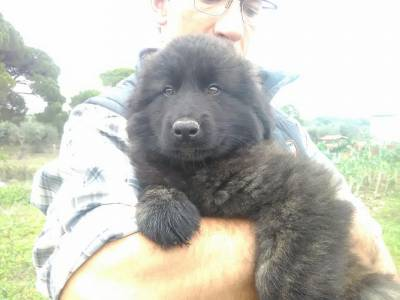 Cachorros Serra de Estrela