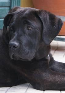 Adopcão Cane Corao Femea com cinco anos