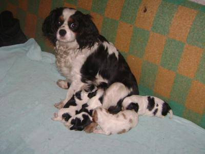 cavalier king charles macho tricolor