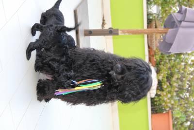 Ninhada disponivel Cão de Água Português PWD