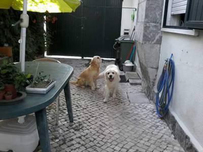 Cachorros Golden Retriever - Diponiveis