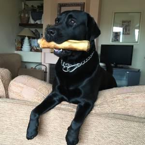 Cao Labrador preto procura namorada