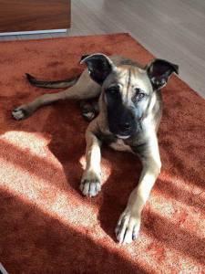 Cão perdido em Algés