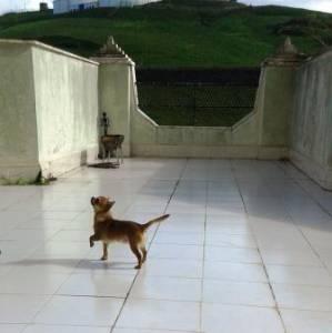 Chihuahua Persik