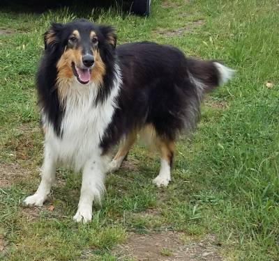 Cachorros Rough Collie Lassie