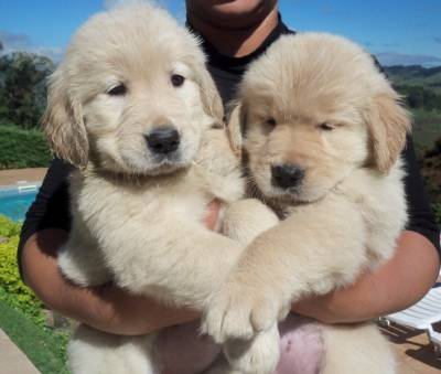 Canil Anjos do Orypaba - GOLDEN RETRIEVER