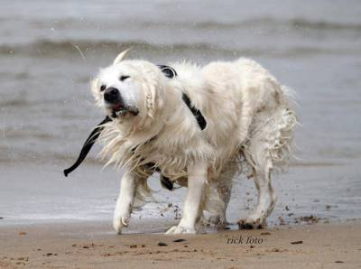 Cão Golden Retrivier Para Cruza