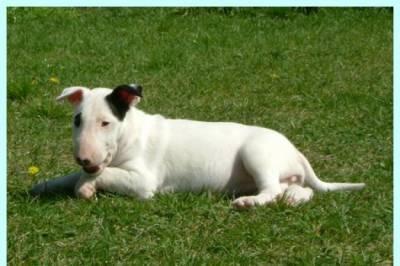 bull terrier excelentes
