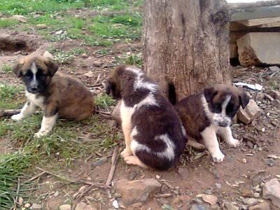 Cachorros Rafeiro do Alentejo