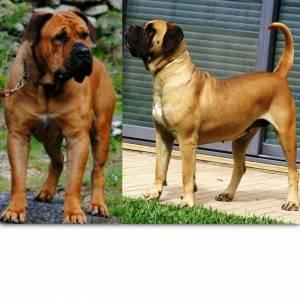 Ninhada de cachorros Boerboel
