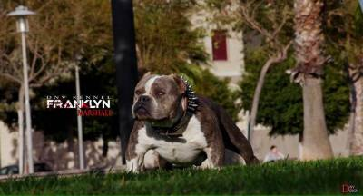 AMERICANBULLY pocket exotic