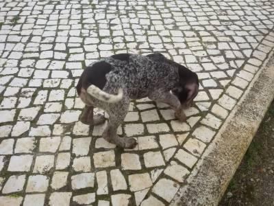 Cachorros Braco Alemão