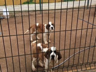 Cachorros são bernardo pelo curto e comprido