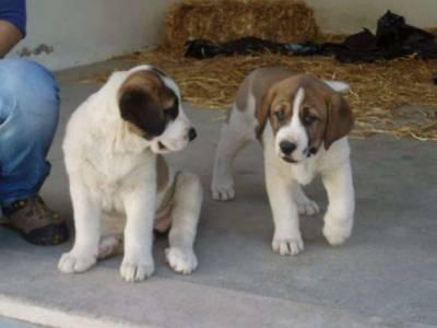 Cão de Gado Transmontano disponiveis