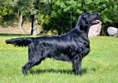 Ninhada de Flat Coated Retriever