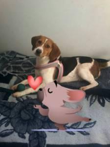Beagle Femea para acasalar