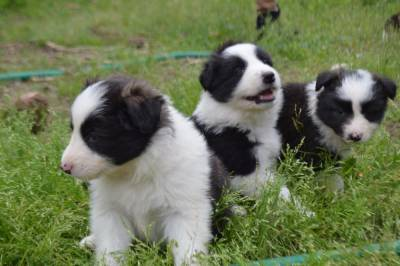 Border collie excelentes