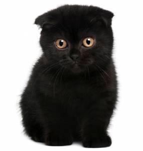 Procuro uma gatinha Scottish Fold