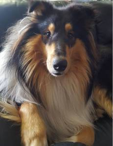 Rough Collie macho para acasalamento