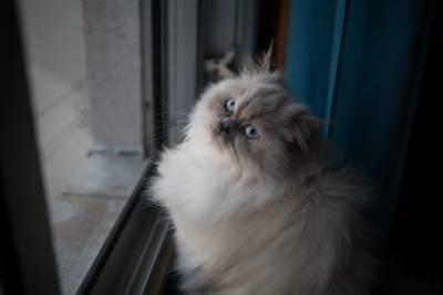 Gata persa procura gato persa para acasalar