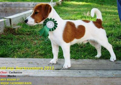 Elvis Jack Russell c LOP Neto do campeao do Mundo