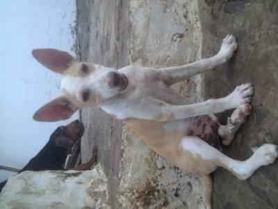 Podengo Portugues Medio cachorro pelo liso
