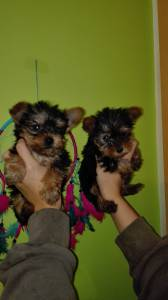 yorkshire terrier super miniatura