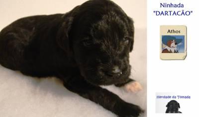 Cão de Água Português Puros LOP - Water Dog puppy