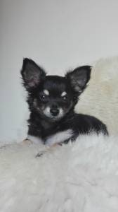 Chihuahua pelo comprido