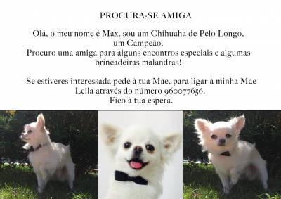 Chihuhua de Pelo Longo procura amiguinha
