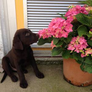 Labrador Retriever Chocolate