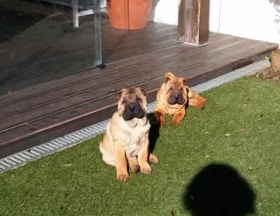 Cachorros Sharpei