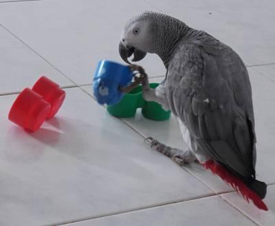 Papagaio cinzento