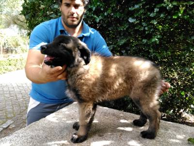 Cão Serra da Esrela