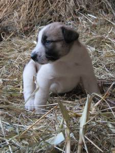 Cão de Gado Transmontano