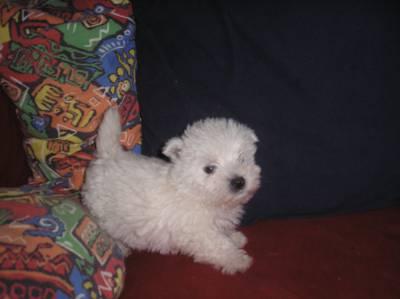 west higlande white terrier  com lop  lisboa